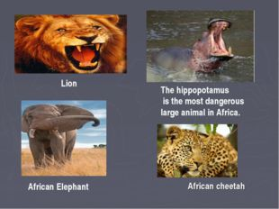 Lion The hippopotamus is the most dangerous large animal in Africa. African E
