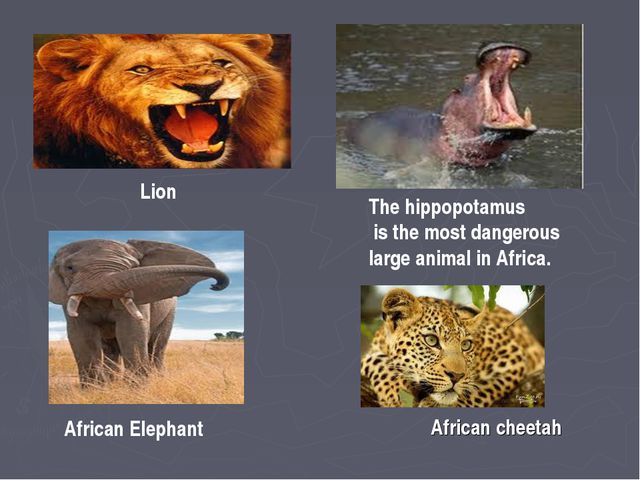 Lion The hippopotamus is the most dangerous large animal in Africa. African E...