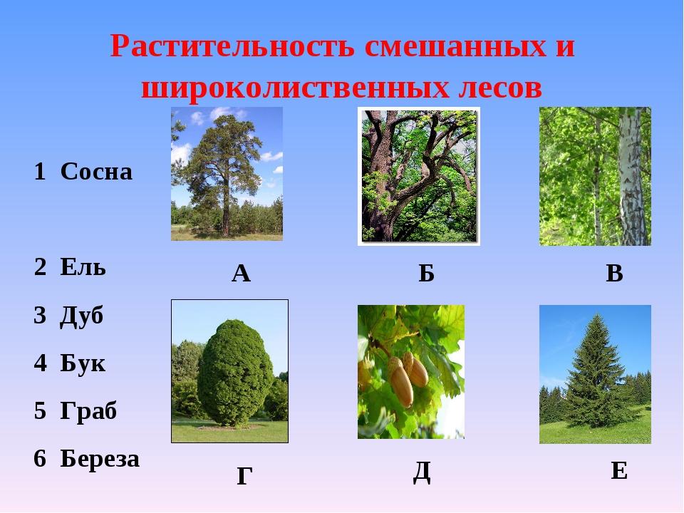 Растительность смешанных и широколиственных лесов 1 Сосна 2 Ель 3 Дуб 4 Бук 5...
