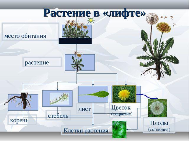 Растение в «лифте» корень стебель лист Цветок (соцветие) растение место обита...