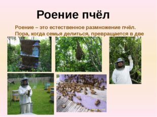 Роение пчёл Роение – это естественное размножение пчёл. Пора, когда семья дел
