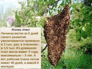 Жизнь пчел Личинка матки за 5 дней своего развития увеличивается примерно в 3