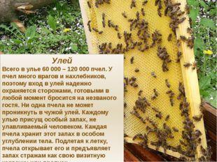 Улей Всего в улье 60 000 – 120 000 пчел. У пчел много врагов и нахлебников, п