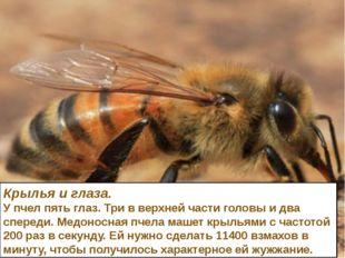 Крылья и глаза. У пчел пять глаз. Три в верхней части головы и два спереди. М