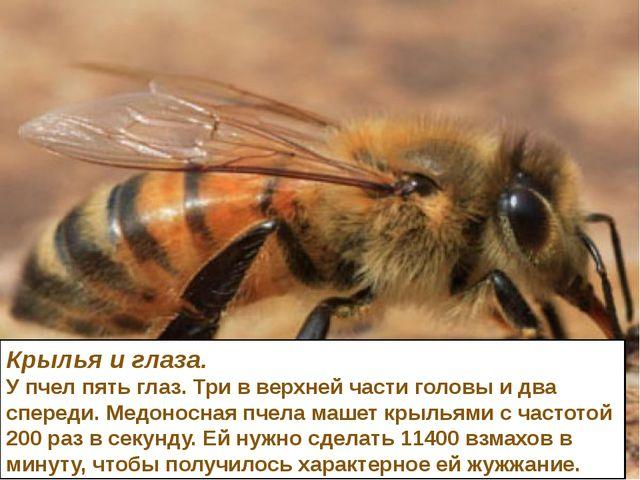 Крылья и глаза. У пчел пять глаз. Три в верхней части головы и два спереди. М...