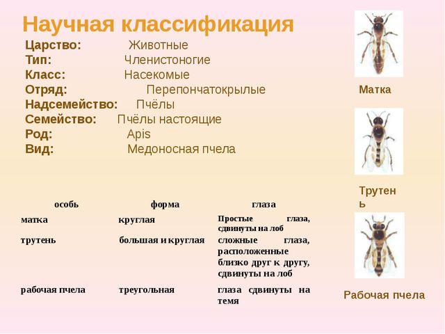 Царство: Животные Тип: Членистоногие Класс: Насекомые Отряд:  Перепончаток...