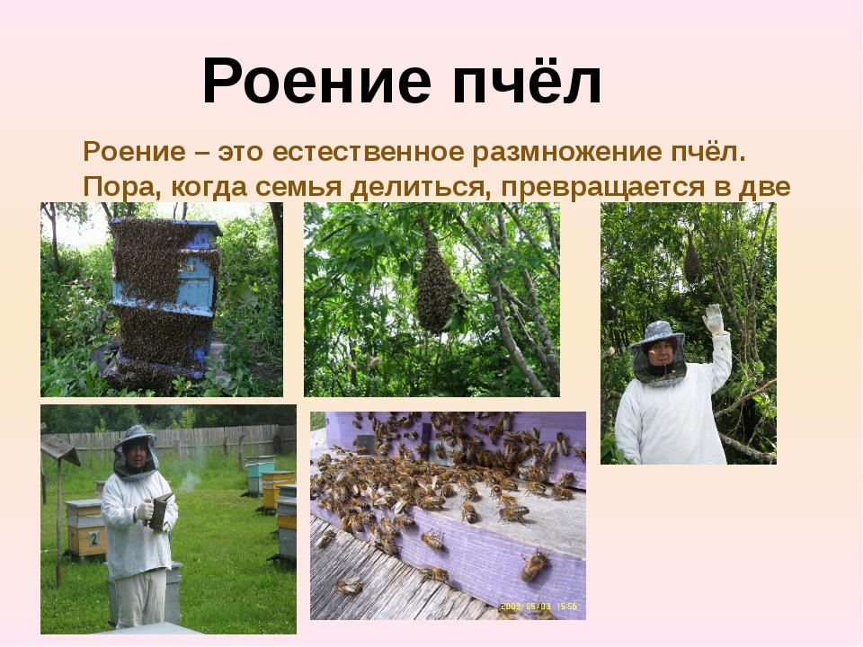 Роение пчёл Роение – это естественное размножение пчёл. Пора, когда семья дел...