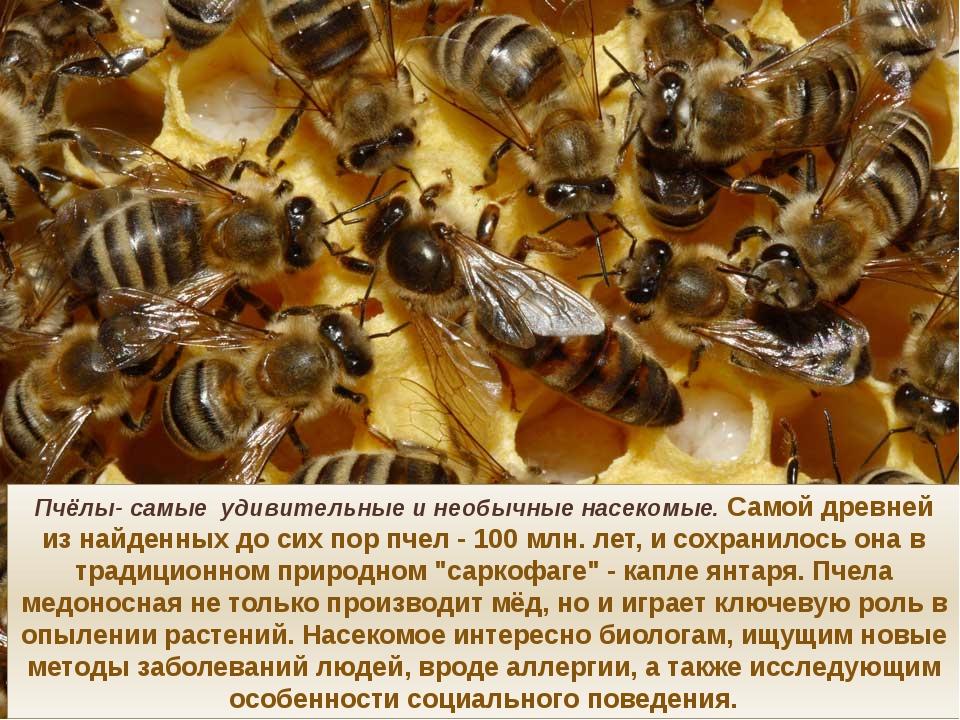 Пчёлы- самые удивительные и необычные насекомые. Самой древней из найденных д...