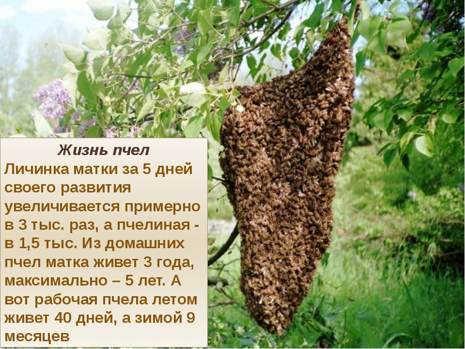 Жизнь пчел Личинка матки за 5 дней своего развития увеличивается примерно в 3...