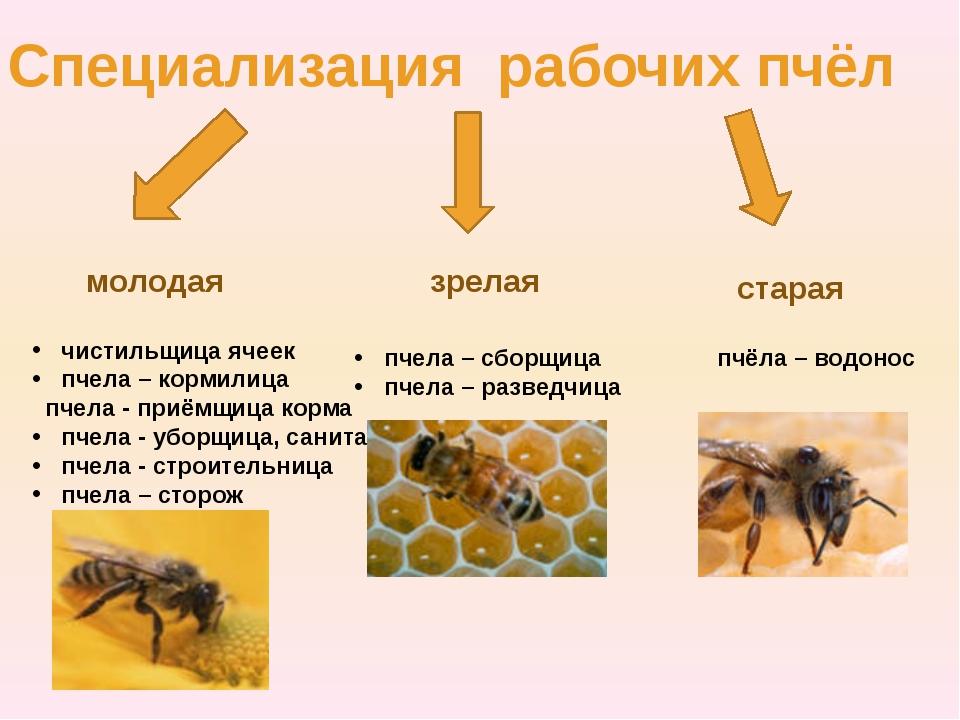 Специализация рабочих пчёл молодая зрелая старая чистильщица ячеек пчела – к...