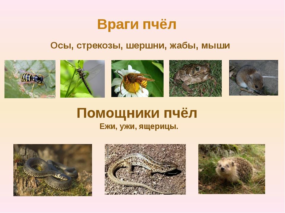 Враги пчёл Осы, стрекозы, шершни, жабы, мыши Помощники пчёл Ежи, ужи, ящерицы.
