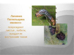 Личинка Пилильщика ивового- повреждают листья , побеги, выедая их внутренние