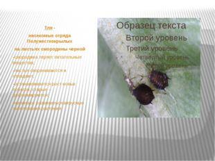 Тля - насекомые отряда Полужесткокрылых на листьях смородины черной -смороди