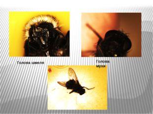 Голова шмеля Голова мухи
