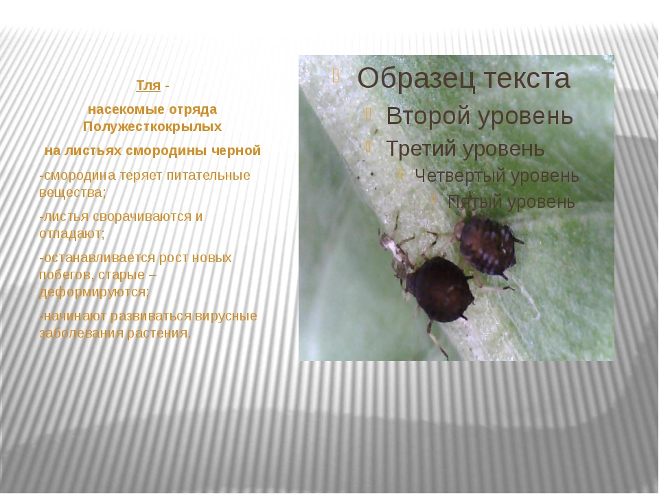 Тля - насекомые отряда Полужесткокрылых на листьях смородины черной -смороди...