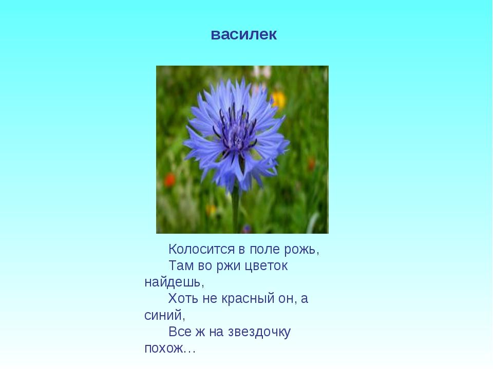 Колосится в поле рожь, Там во ржи цветок найдешь, Хоть не красный он, а синий...
