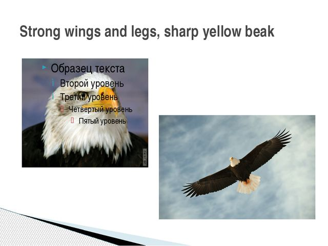 Strong wings and legs, sharp yellow beak