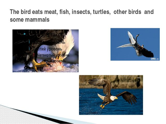 The bird eats meat, fish, insects, turtles, other birds and some mammals