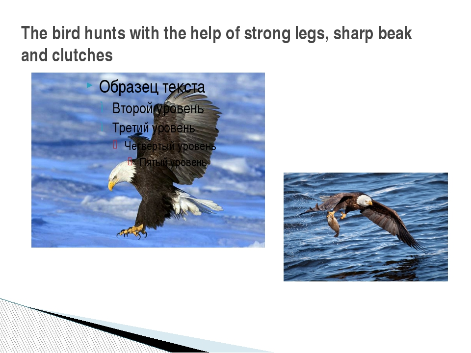 The bird hunts with the help of strong legs, sharp beak and clutches