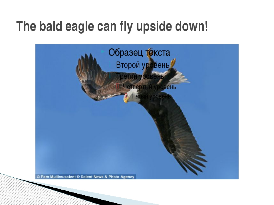 The bald eagle can fly upside down!