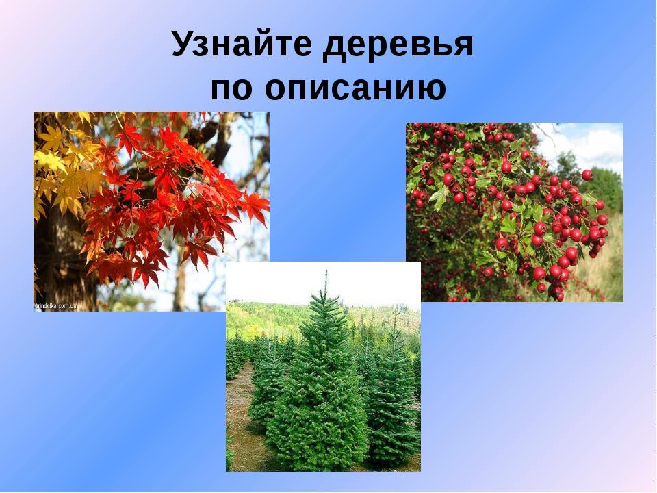 Узнайте деревья по описанию