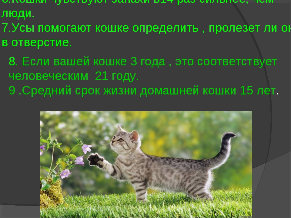 6.Кошки чувствуют запахи в14 раз сильнее, чем люди. 7.Усы помогают кошке опре...