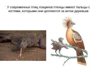 У современных птиц гоацинов птенцы имеют пальцы с когтями, которыми они цепля