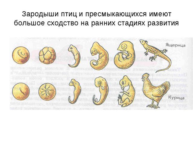 Зародыши птиц и пресмыкающихся имеют большое сходство на ранних стадиях разви...