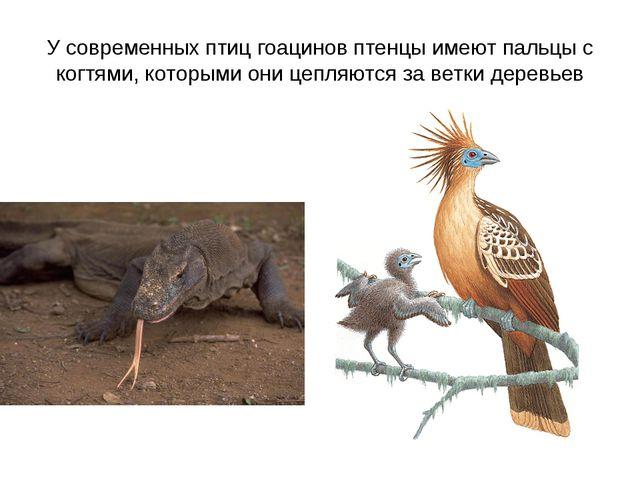 У современных птиц гоацинов птенцы имеют пальцы с когтями, которыми они цепля...