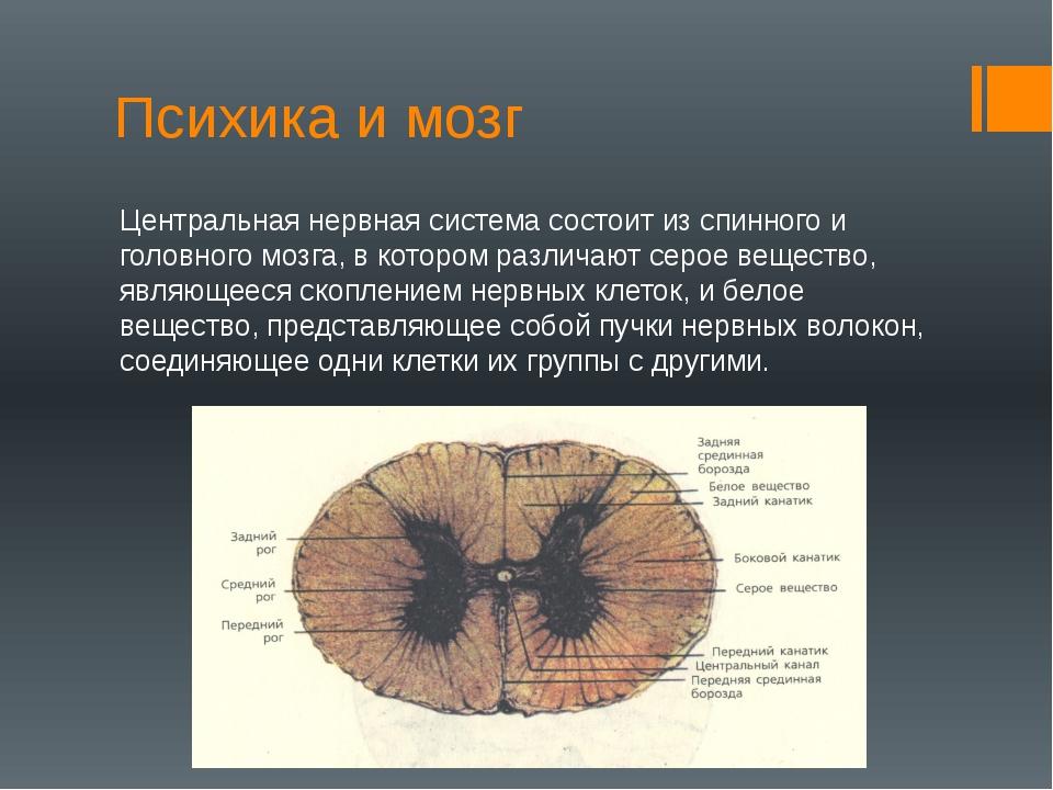 Психика и мозг Центральная нервная система состоит из спинного и головного мо...
