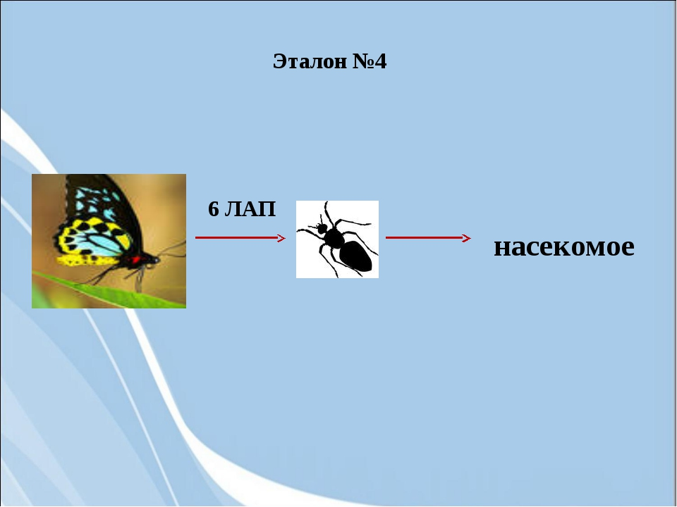 6 ЛАП насекомое Эталон №4