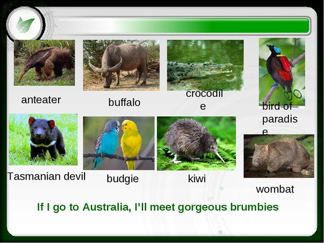 bird of paradise wombat budgie Tasmanian devil crocodile buffalo anteater kiw...