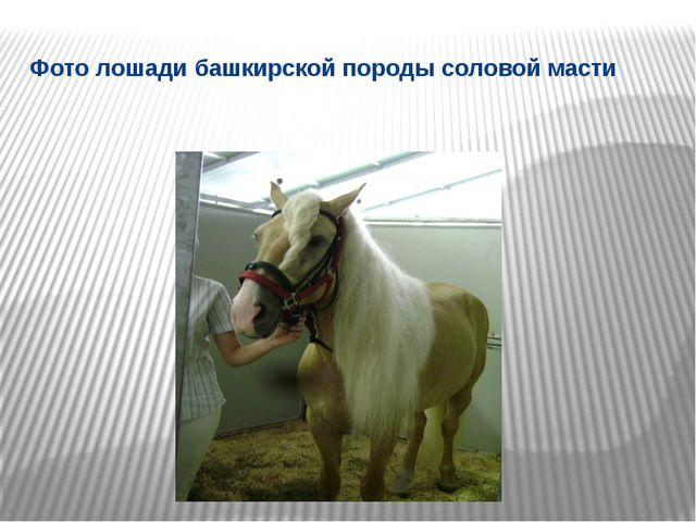 Фото лошади башкирской породы соловой масти
