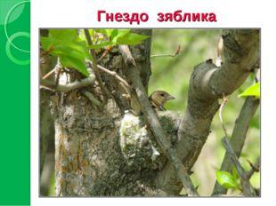Гнездо зяблика