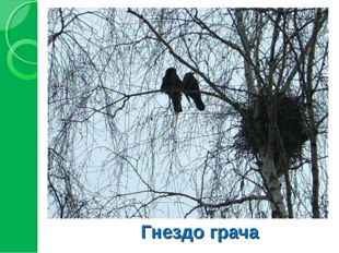 Гнездо грача