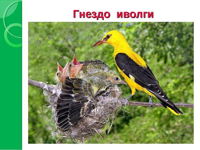 Гнездо иволги