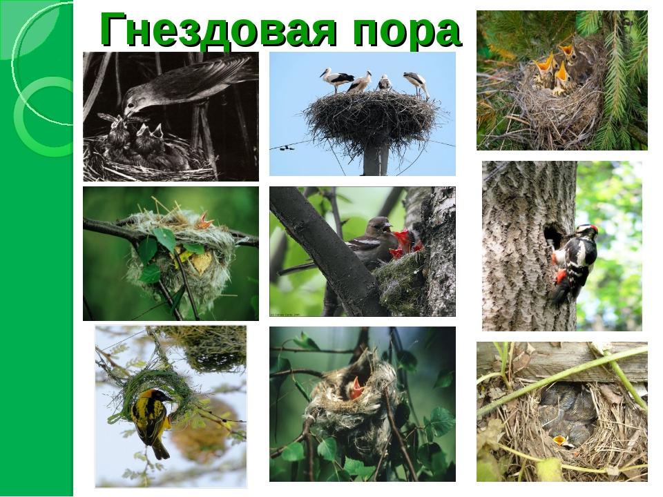 Гнездовая пора