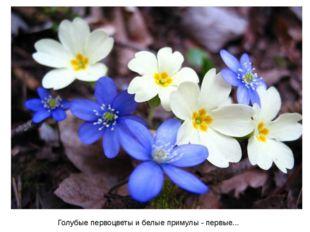 Голубыепервоцветыи белые примулы - первые...