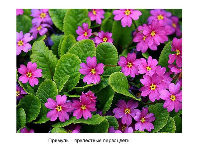 Примулы - прелестныепервоцветы