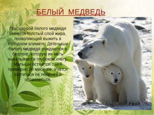 Под шкурой белого медведя имеется толстый слой жира, позволяющий выжить в хо