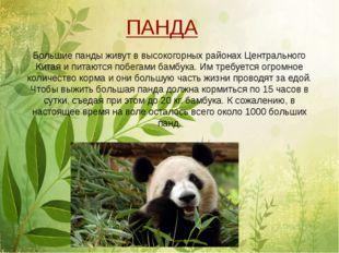 Большие панды живут в высокогорных районах Центрального Китая и питаются поб