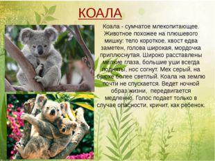 Коала - сумчатое млекопитающее. Животное похожее на плюшевого мишку: тело ко