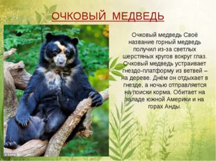 Очковый медведь Своё название горный медведь получил из-за светлых шерстяных