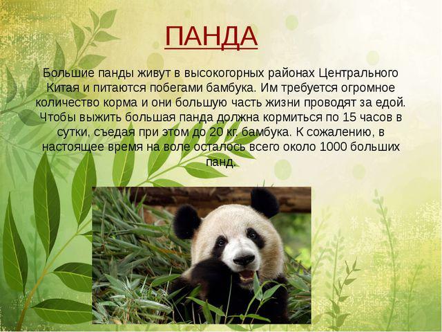 Большие панды живут в высокогорных районах Центрального Китая и питаются поб...