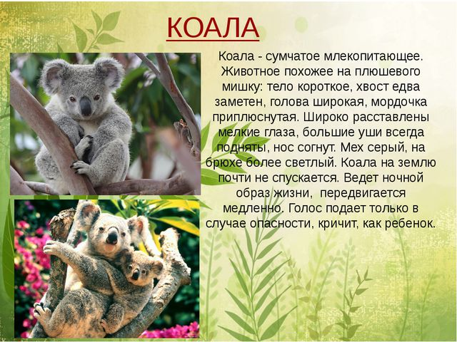Коала - сумчатое млекопитающее. Животное похожее на плюшевого мишку: тело ко...