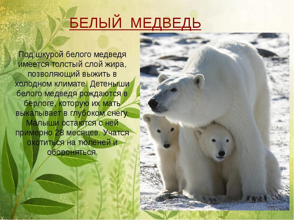 Под шкурой белого медведя имеется толстый слой жира, позволяющий выжить в хо...