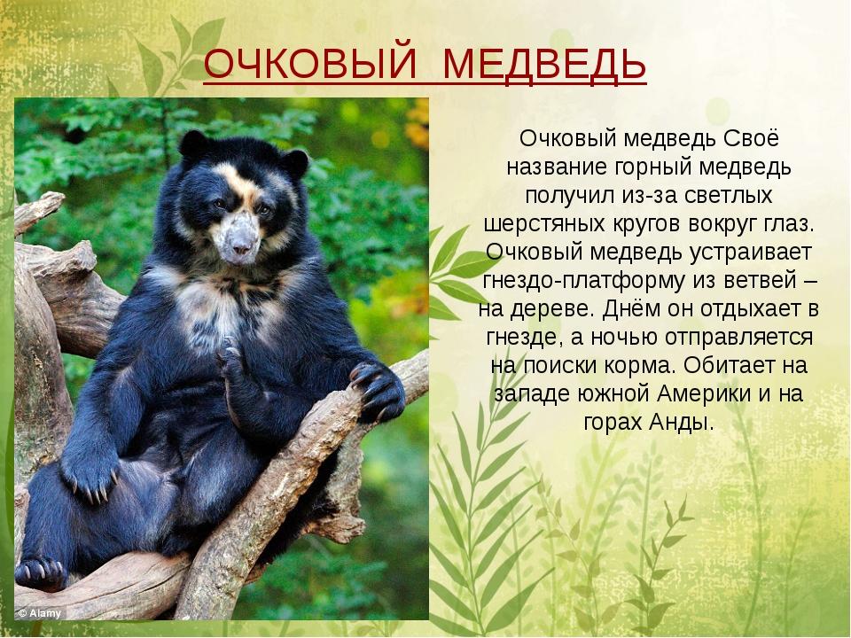 Очковый медведь Своё название горный медведь получил из-за светлых шерстяных...