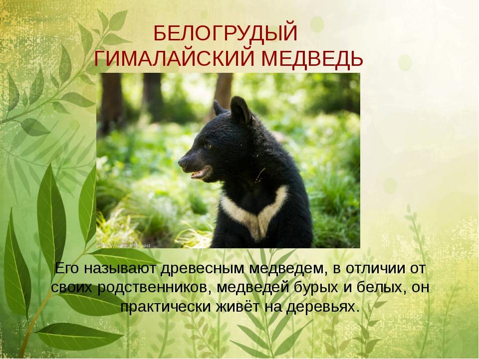 БЕЛОГРУДЫЙ ГИМАЛАЙСКИЙ МЕДВЕДЬ Его называют древесным медведем, в отличии от...