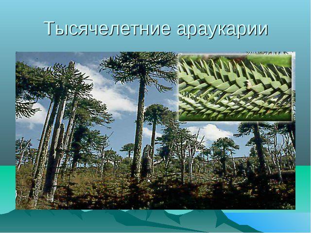 Тысячелетние араукарии