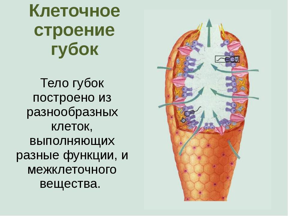 Клеточное строение губок Тело губок построено из разнообразных клеток, выполн...